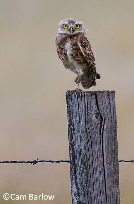 Burrowing owl 2 LR_with Copyright